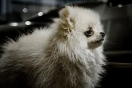 Pomeranian-2